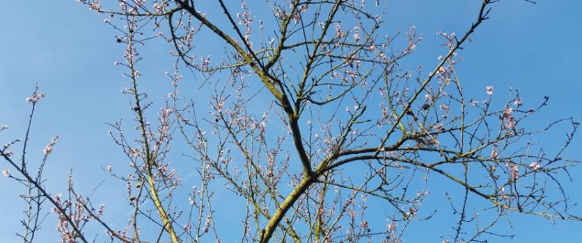 Amandelboom: schoonheid of gebrek?